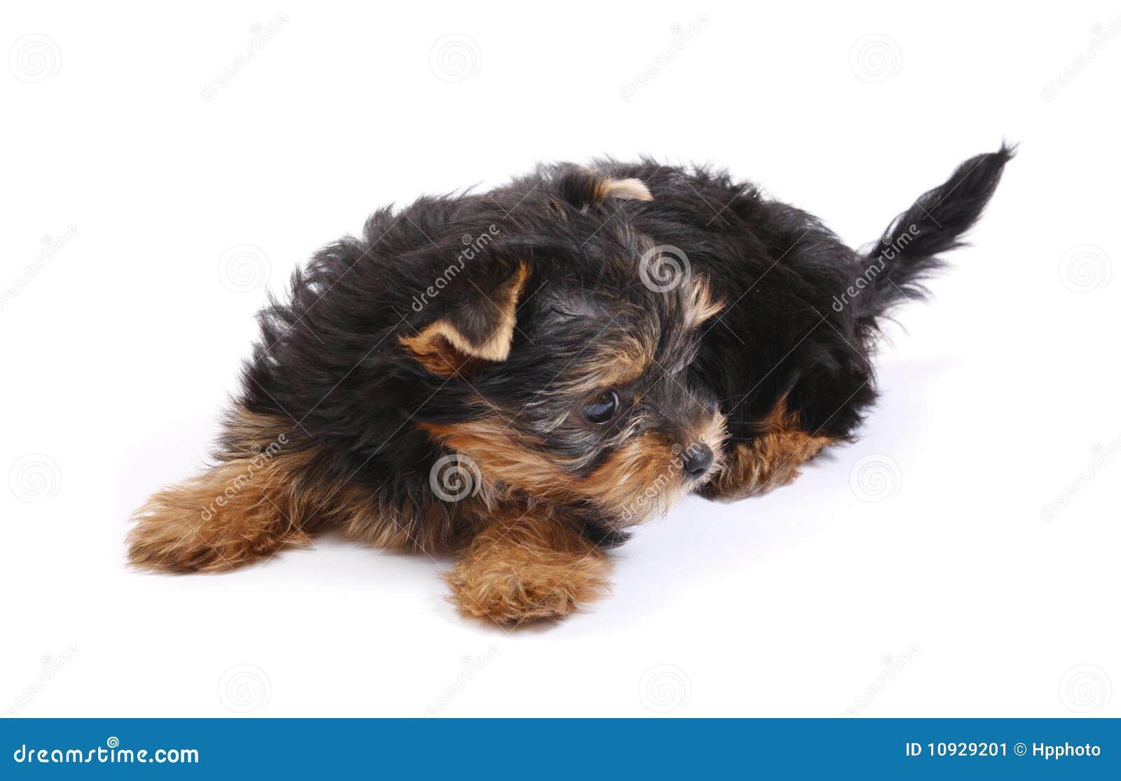 7 неделей yorkshire terrier
