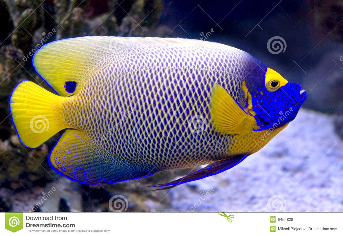 7 angelfish blueface