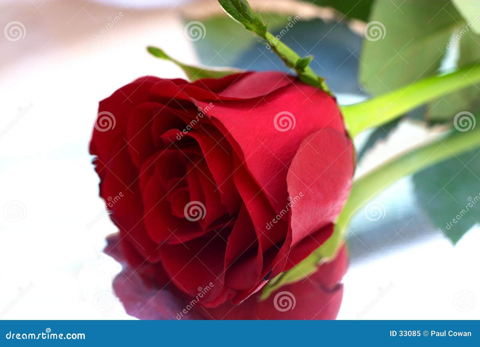 7 czerwona róża