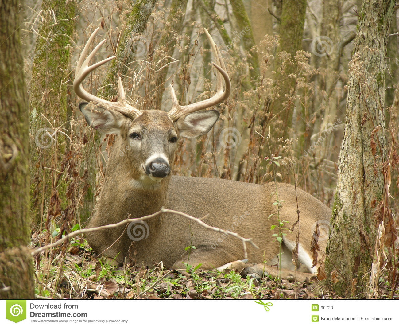 8 Point Buck Bedded Stock Image Image Of Fall Wildlife 90733