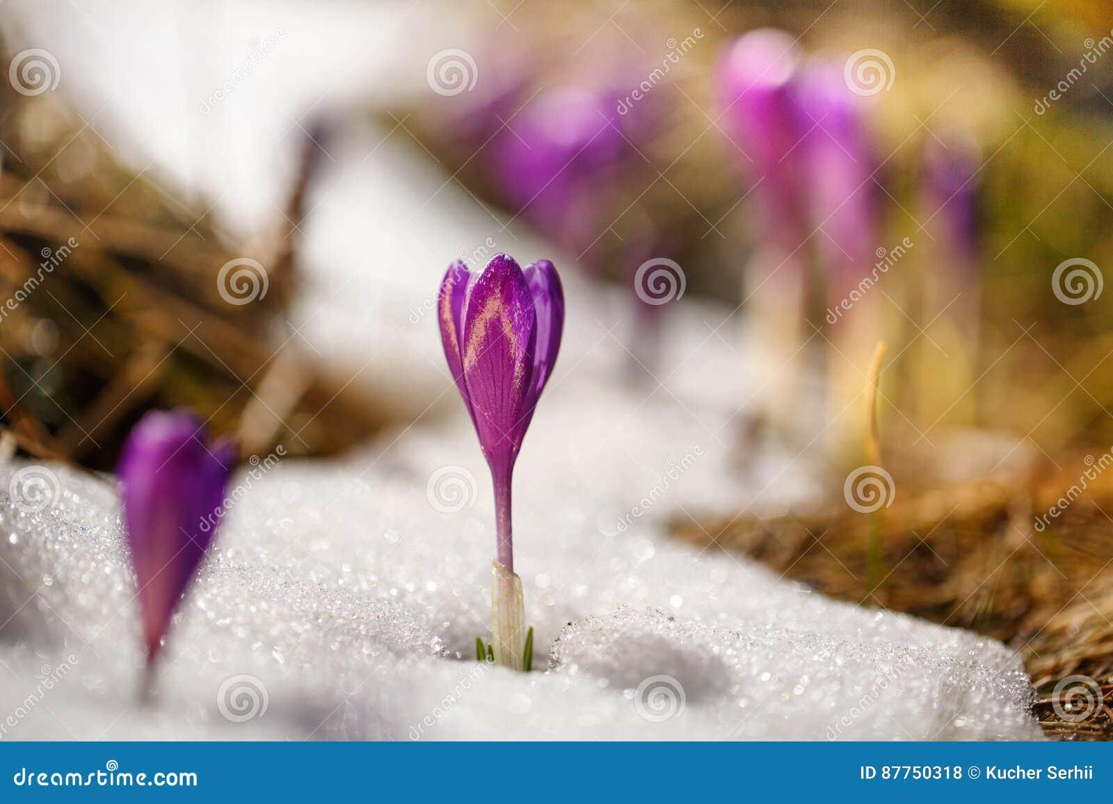 Açafrão que cresce entre a neve no sol