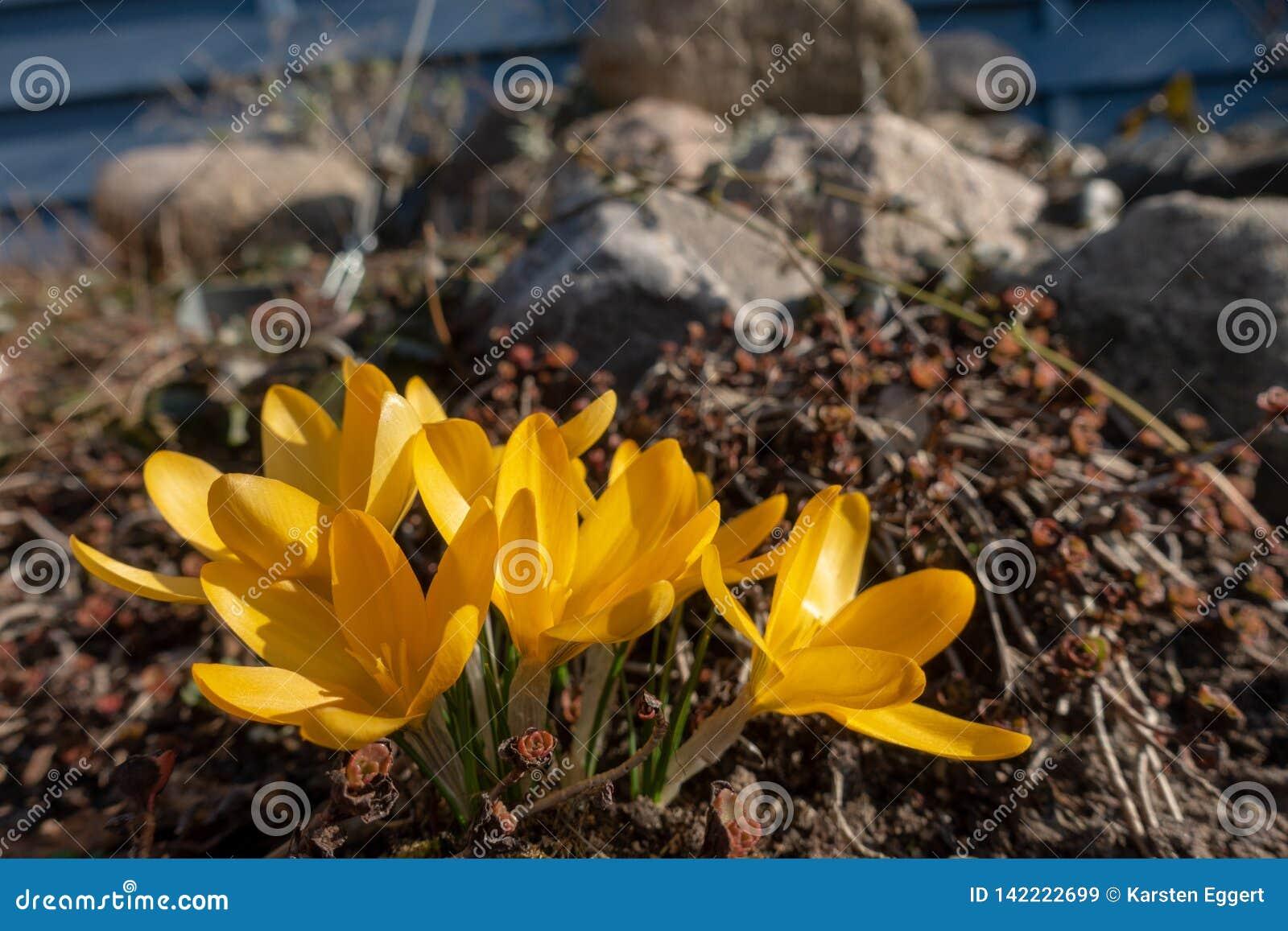 Açafrões amarelos na mola