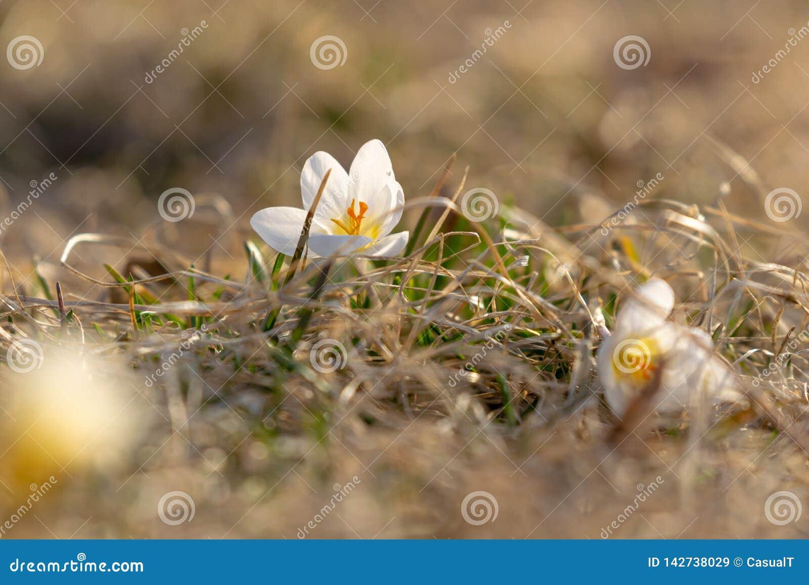 Açafrões brancos, florescendo na mola adiantada, contra um fundo agradável do bokeh, close up