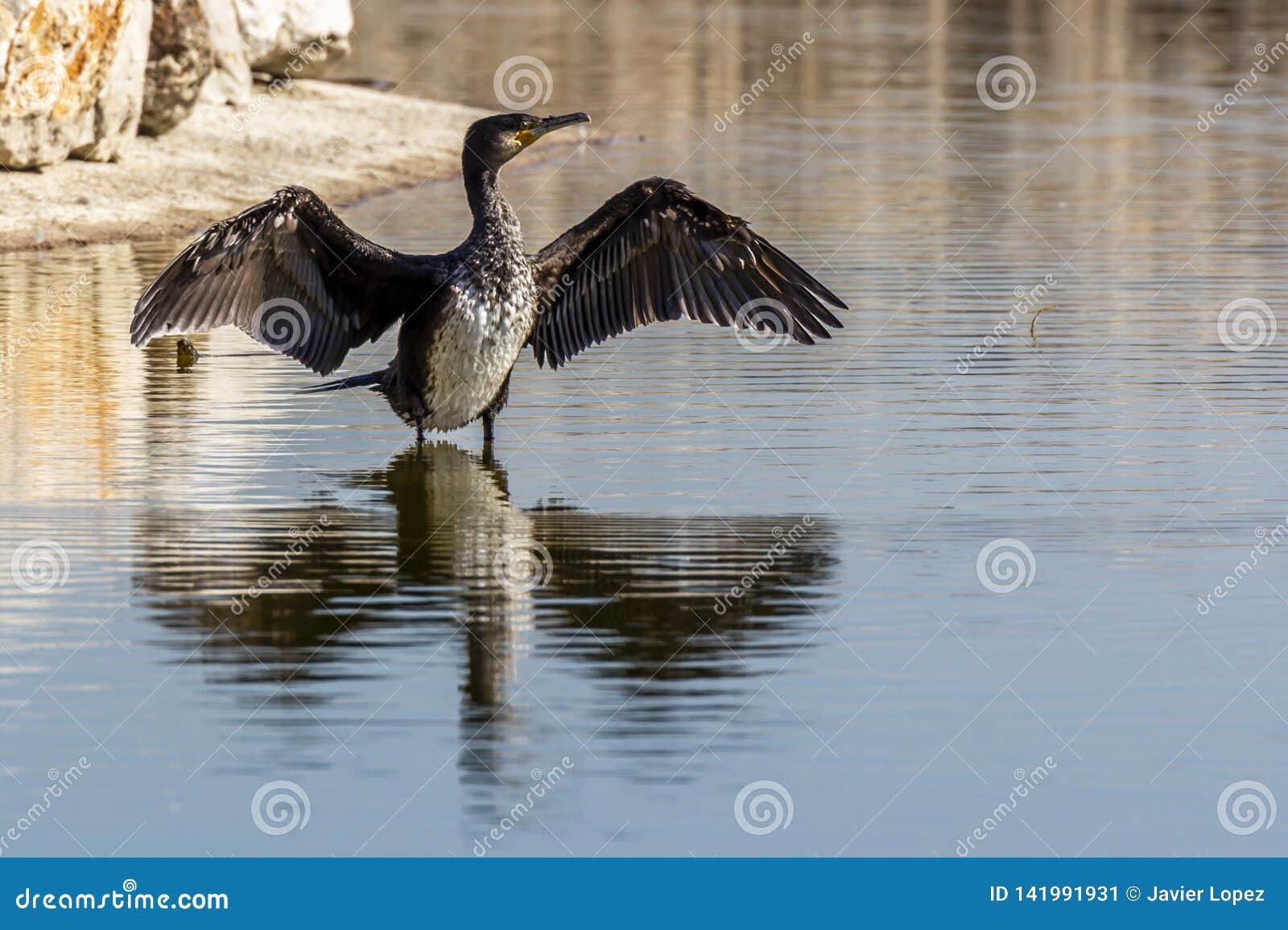 Aalscholver die zijn natte vleugels na visserij drogen