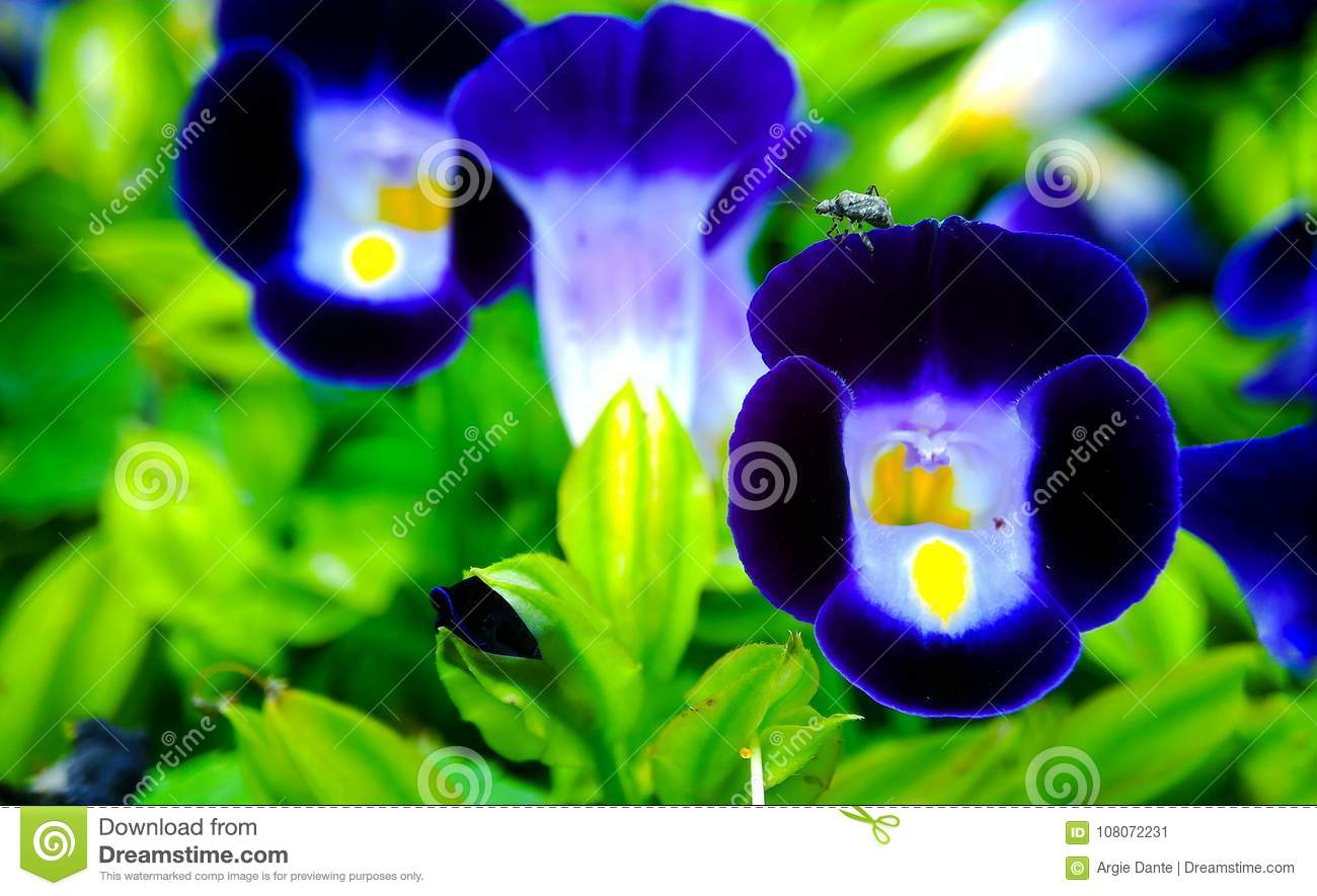 Aan insect on a midnight blue pea shaped flower wishbone flowers download aan insect on a midnight blue pea shaped flower wishbone flowers torenia fourieri izmirmasajfo