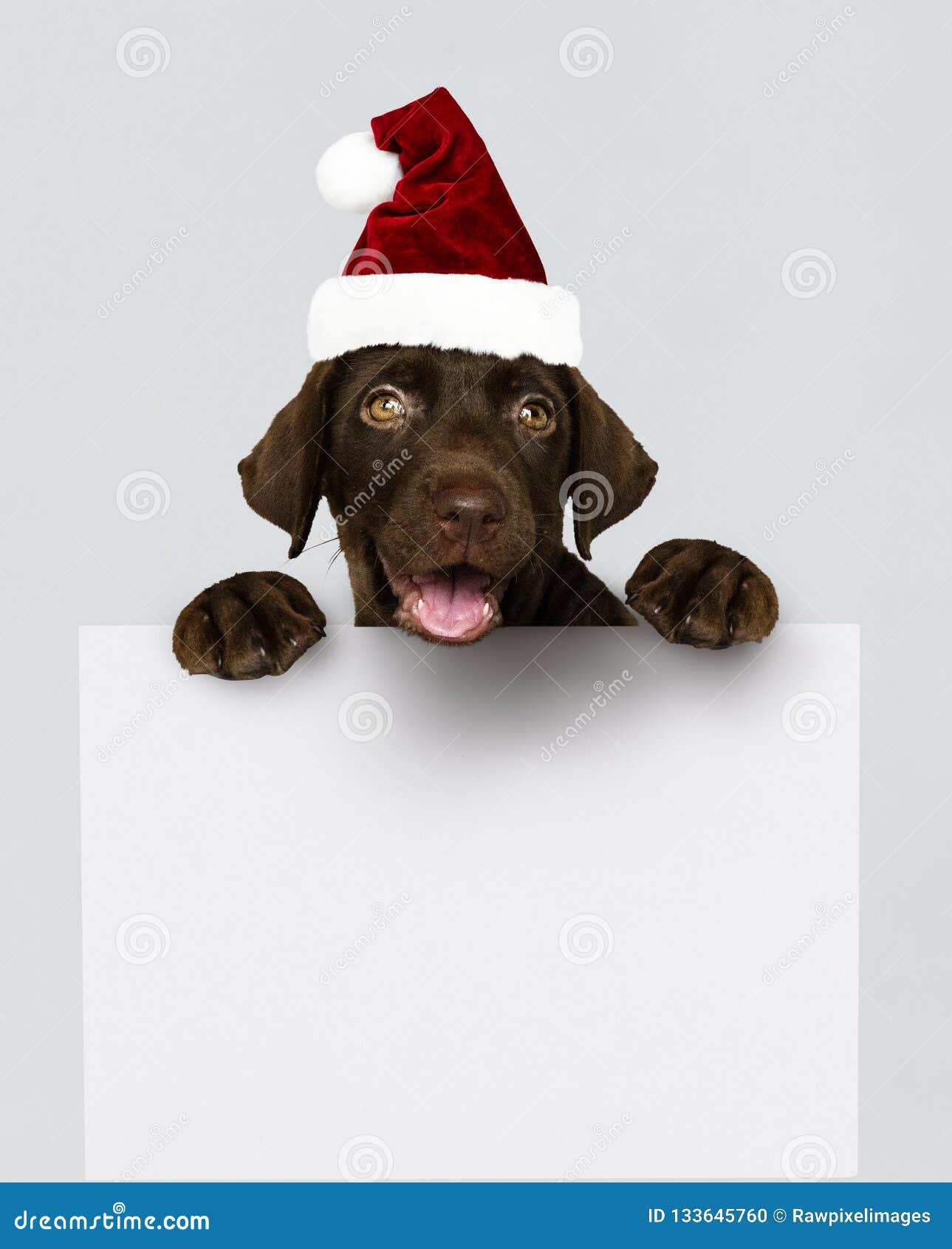 Aanbiddelijk Labradorpuppy die een Kerstmishoed dragen die een raadsmodel houden