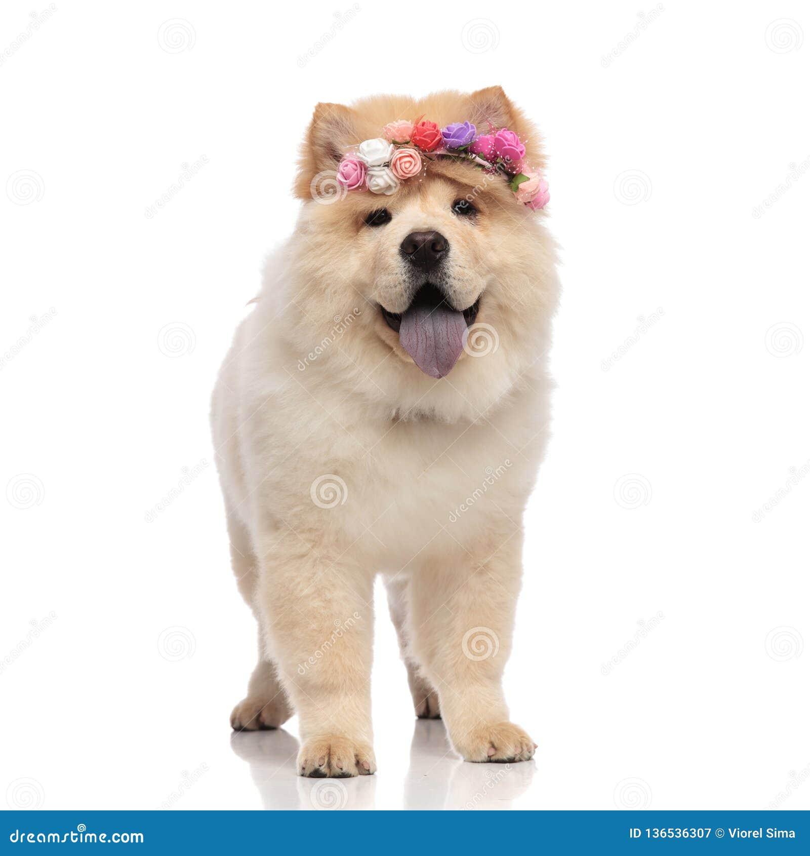 Aanbiddelijke chow-chow die gekleurde bloemenhoofdband status dragen