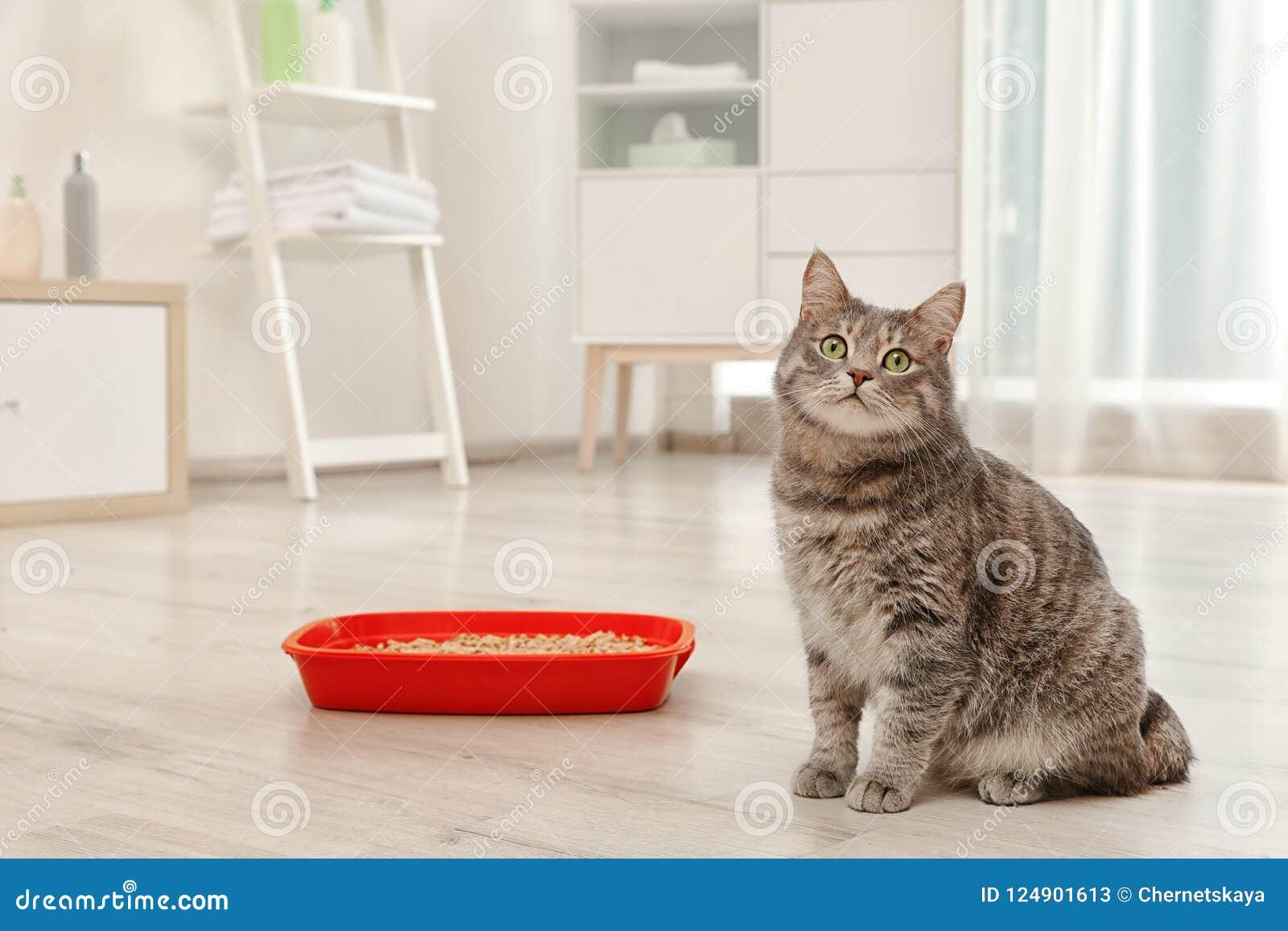 Aanbiddelijke grijze kat dichtbij kattebak binnen
