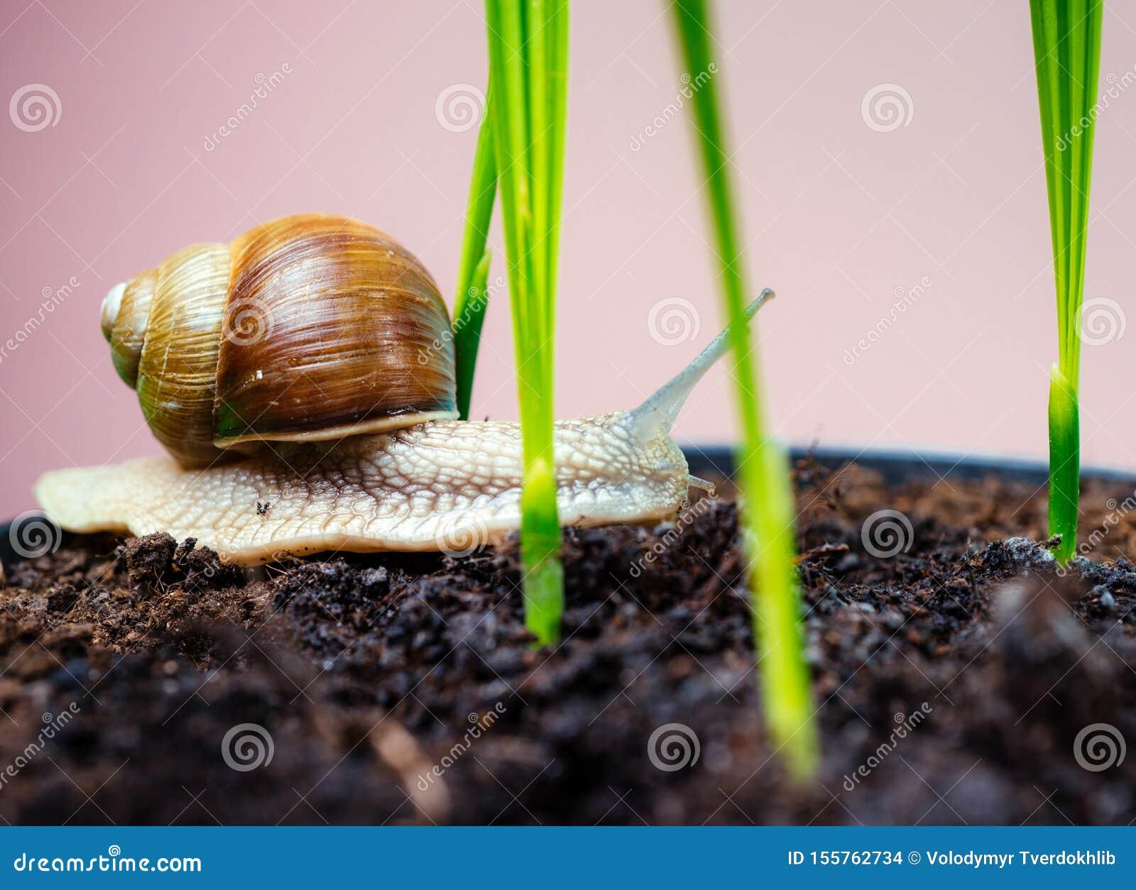 Aanbiddelijke slak dichte omhooggaand Weinig slijm met shell of slak in installatiepot Helend slijm Schoonheidsmiddelen en slaksl