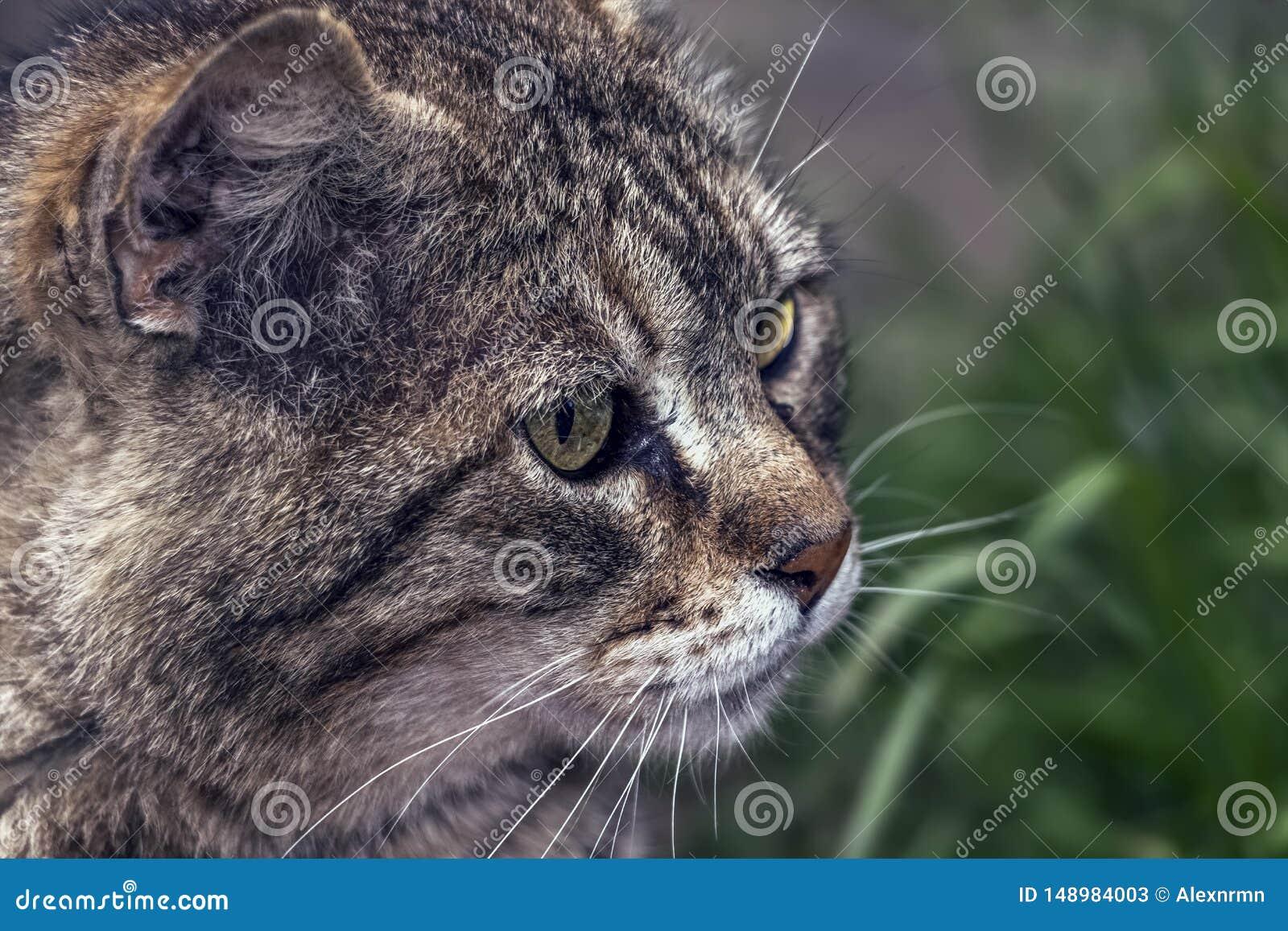 Aandachtig kijk van een grijze, straatkat