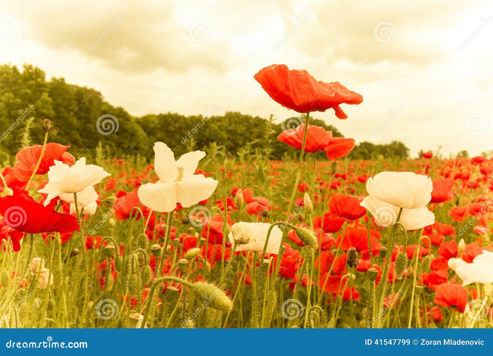 https://thumbs.dreamstime.com/z/aanplanting-van-rode-en-witte-verlichte-bloemen-41547799.jpg