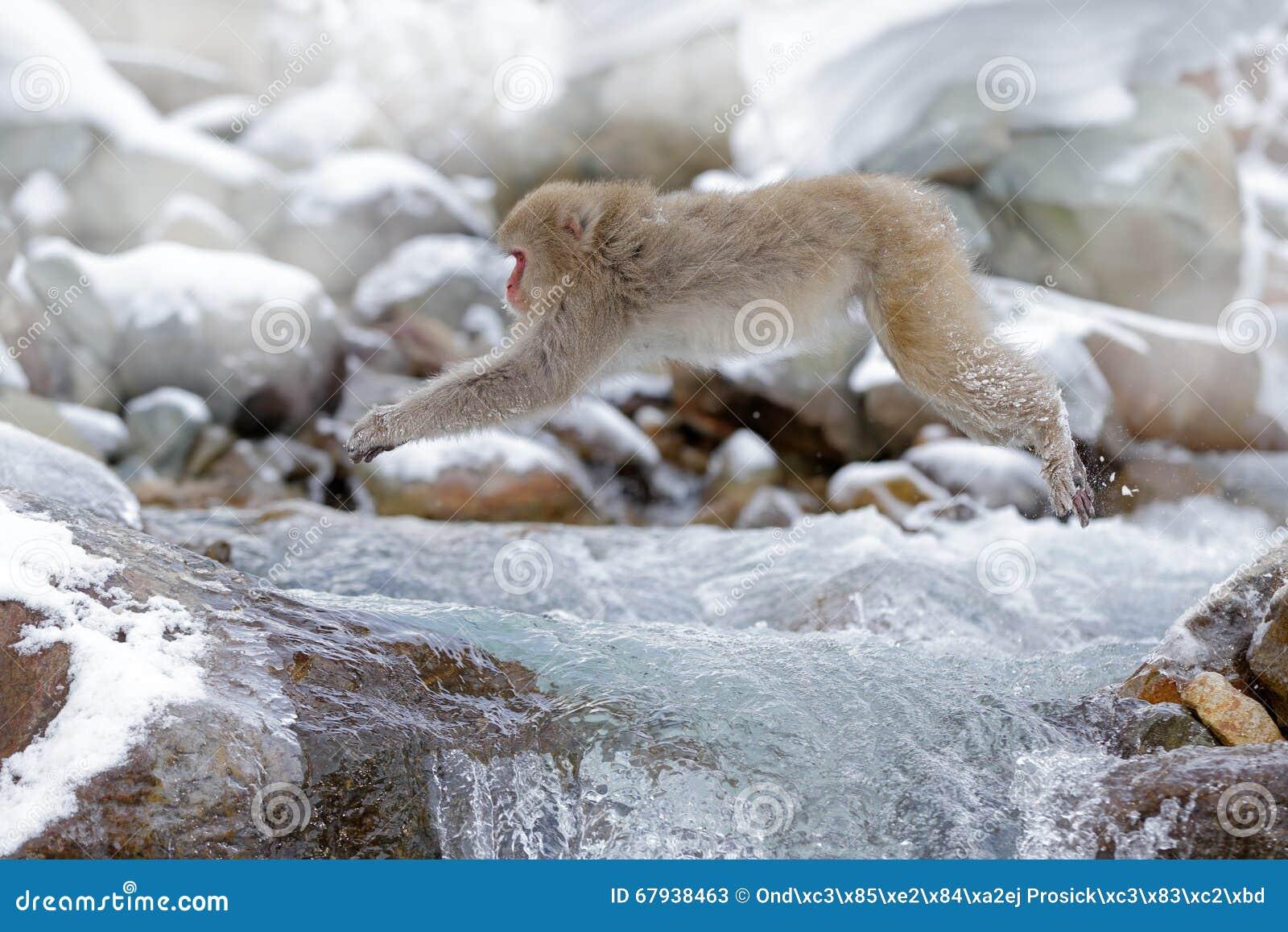 Aap Japanse macaque, Macaca-fuscata, die over de winterrivier springen, sneeuwsteen op achtergrond, Hokkaido, Japan
