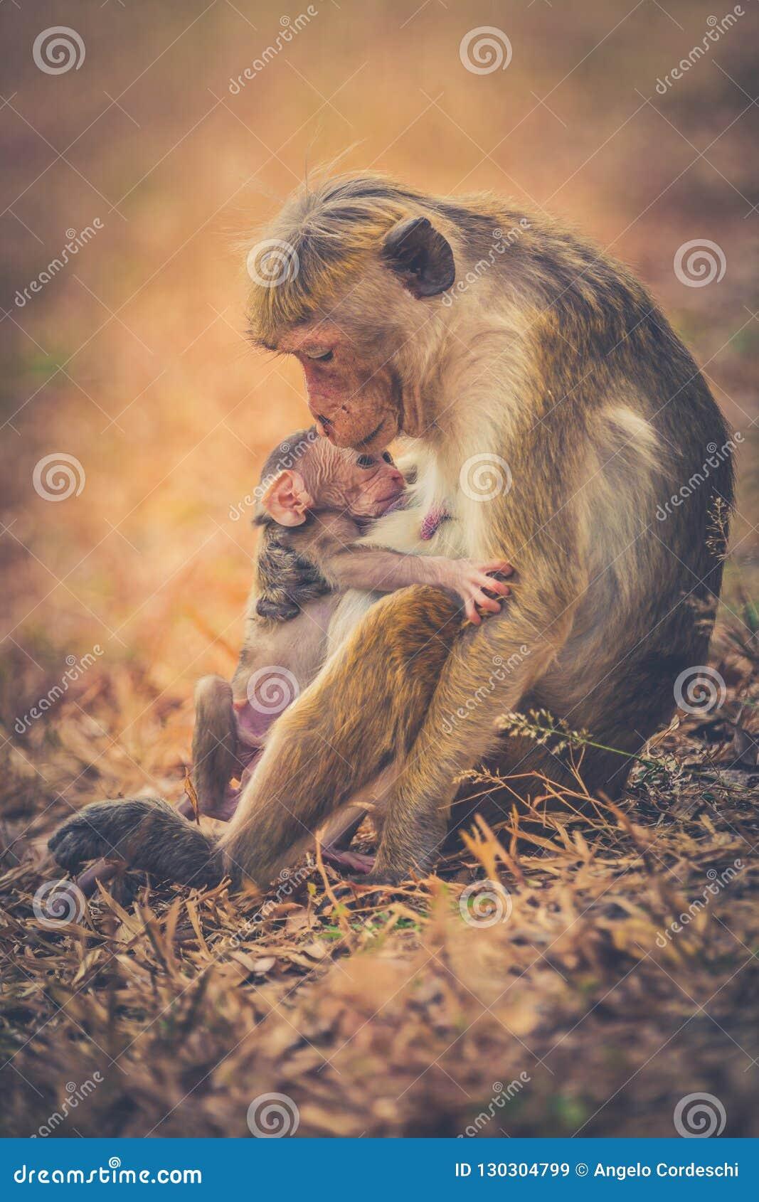 Aapmamma met zoonspuppy Bonnet macaque apen
