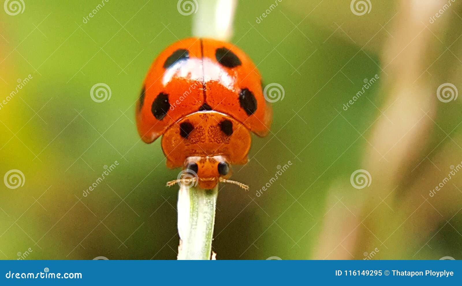 Aard dierlijk insect van Thailand