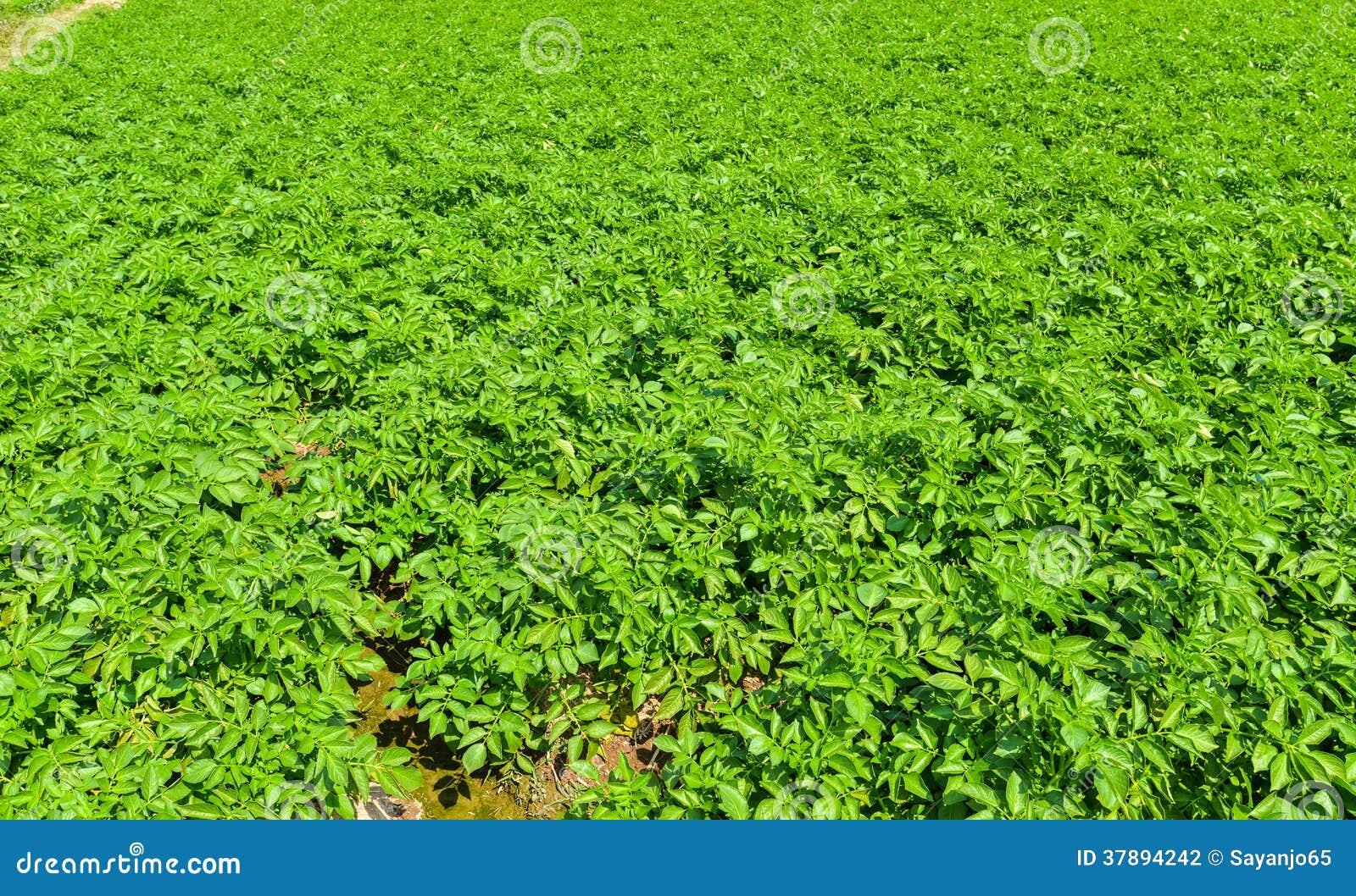 Aardappelplant op gebied.
