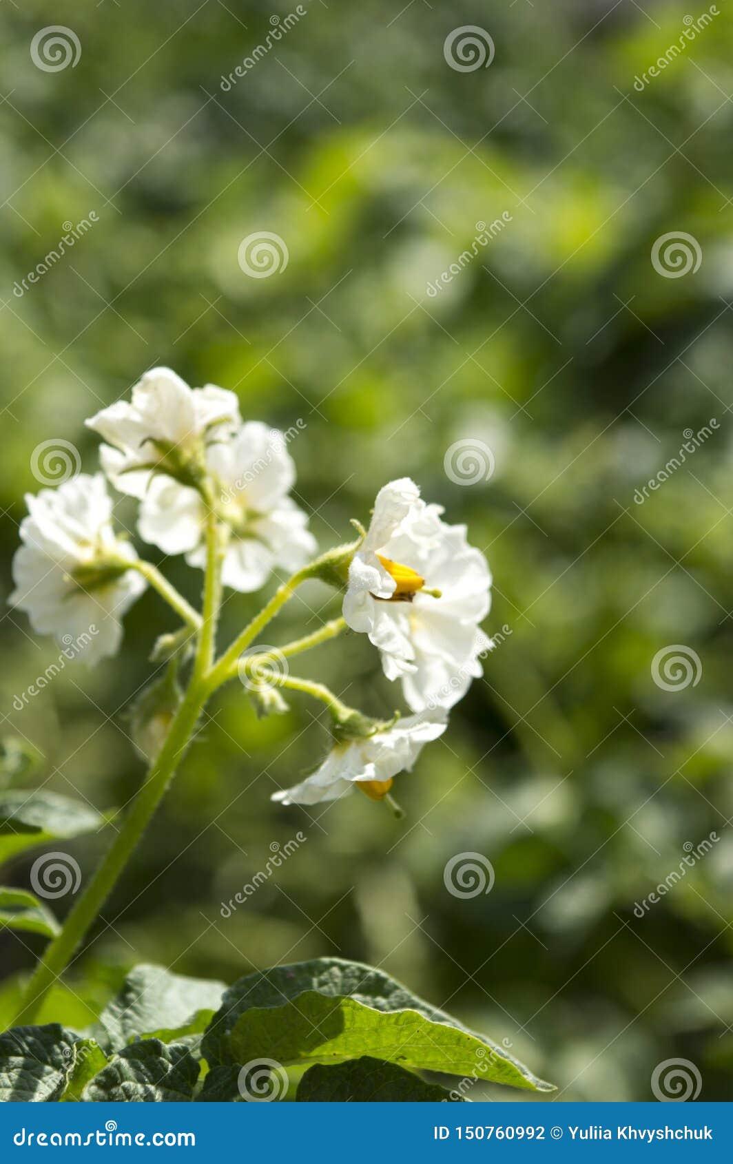 Aardappelplantbloemen Landbouwproducten
