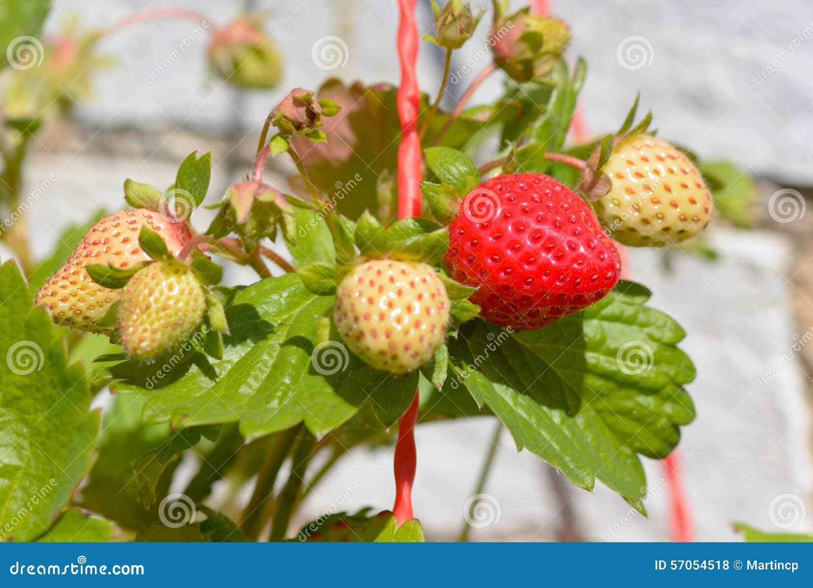 Aardbeien die in zonneschijn rijpen