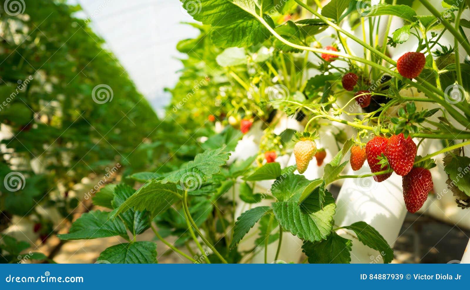 Aardbeien in een Aardbeilandbouwbedrijf
