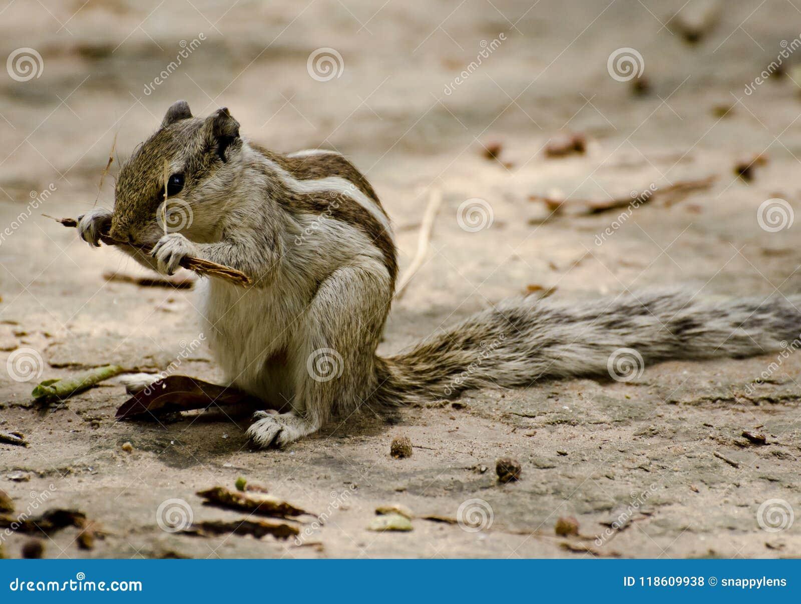 Aardeekhoorn het knagen aan op een stok