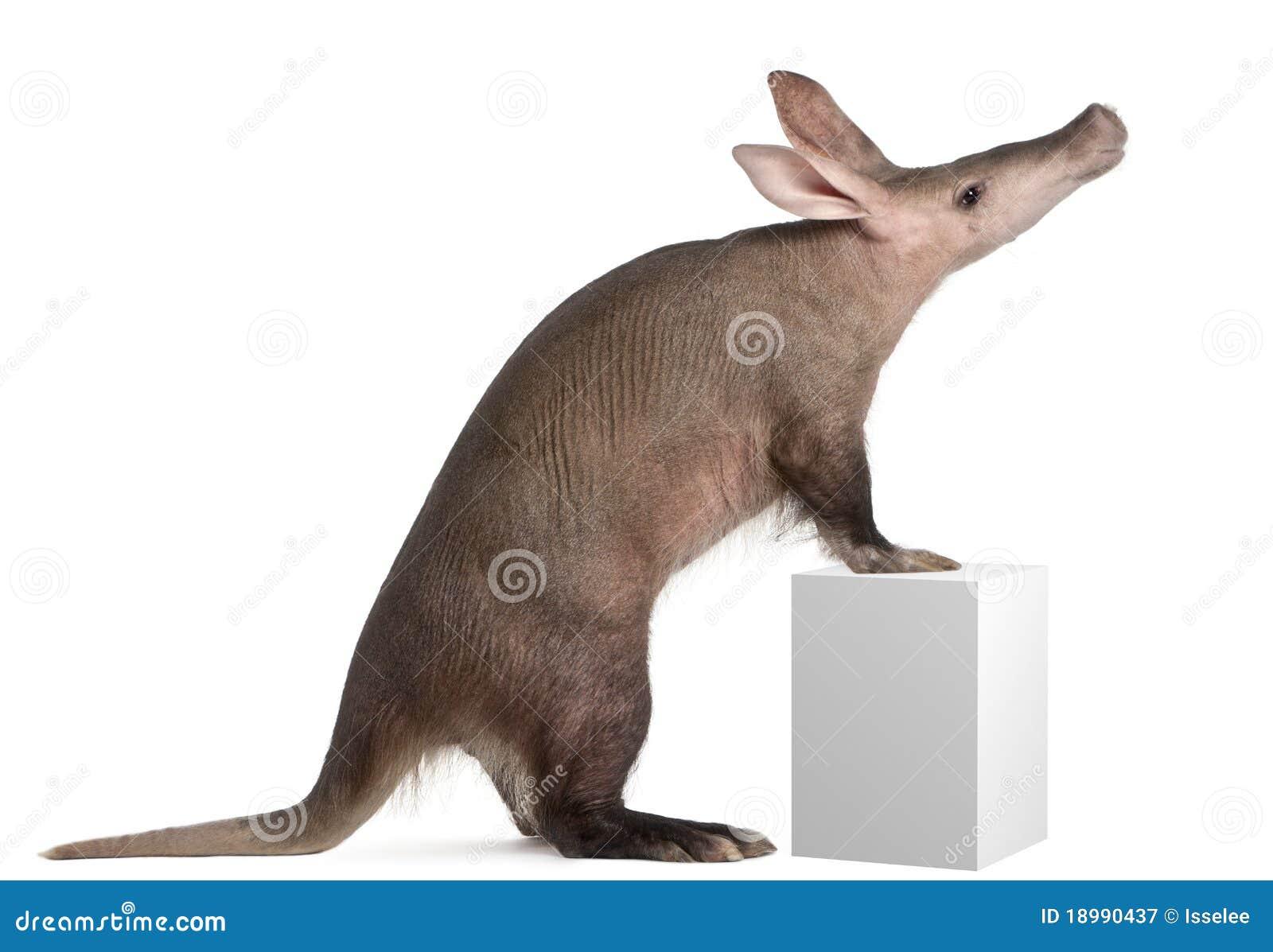 Aardvark, Orycteropus, 16 anni