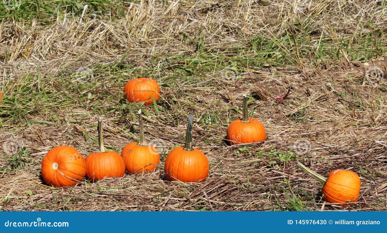 Abóboras na grama no remendo da abóbora