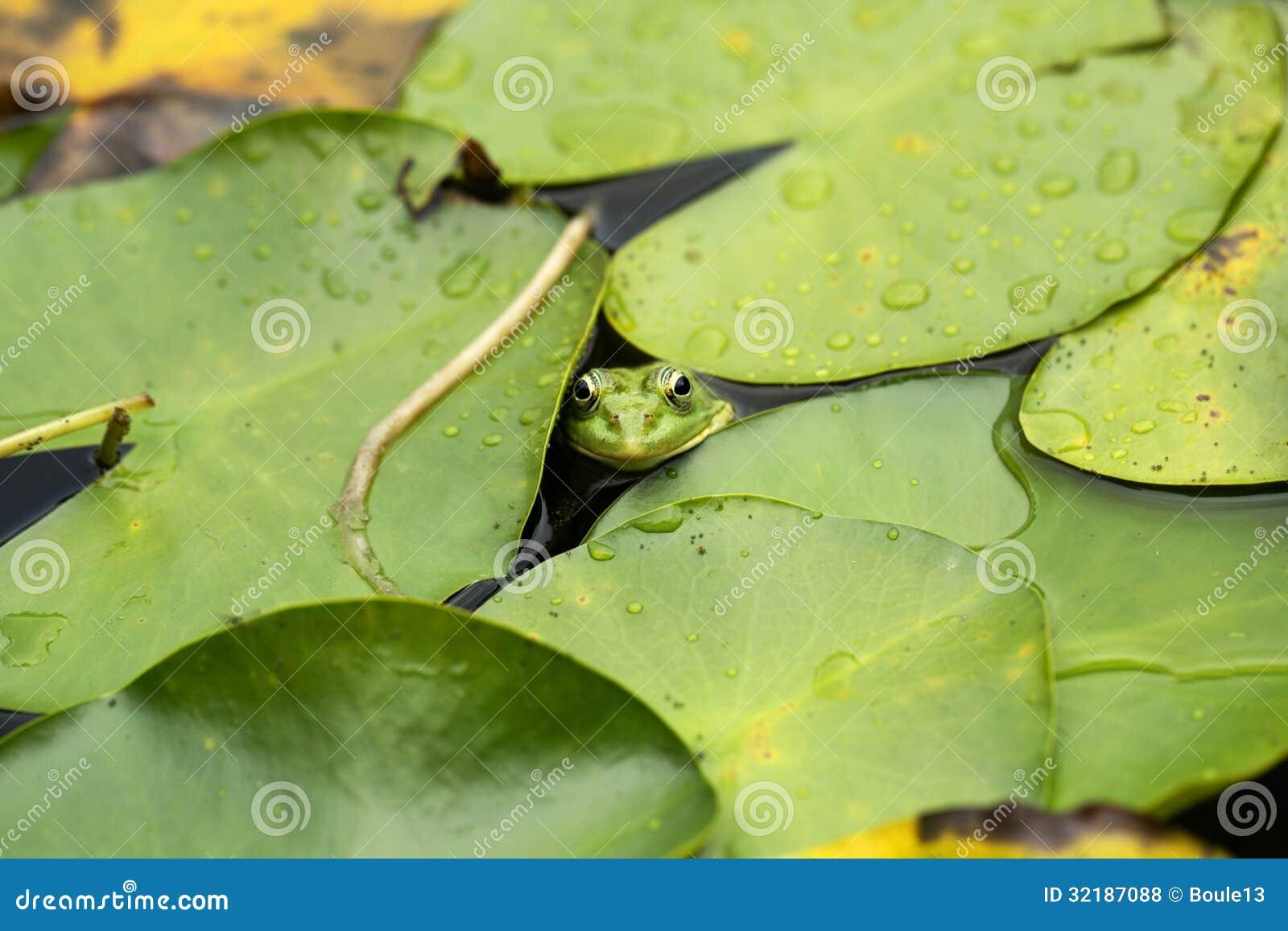 Żaba na leluja ochraniaczu