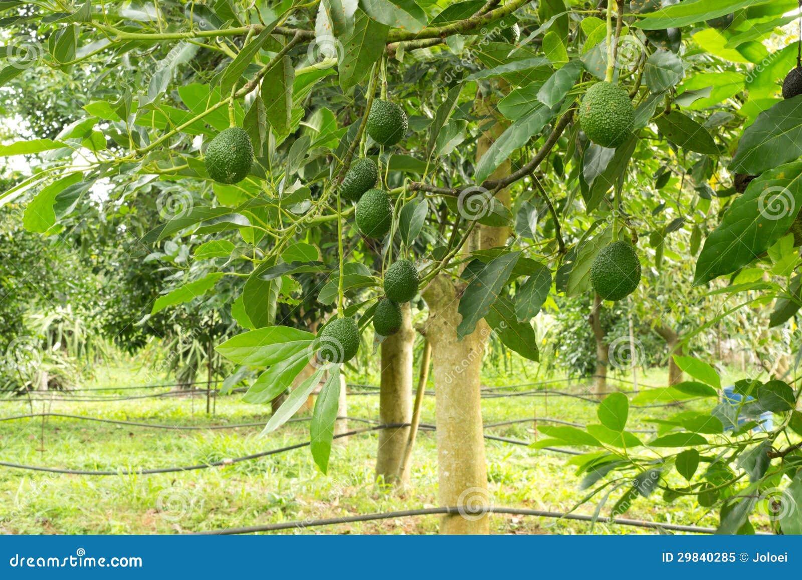 Árvore de abacates