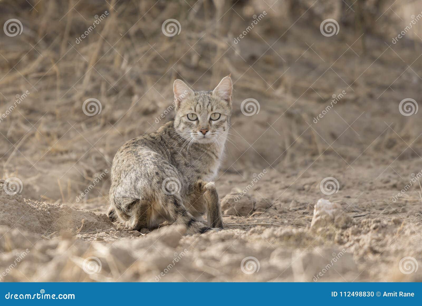 Abandone el gato que busca para la comida en el parque nacional del desierto cerca de Jaisalmer
