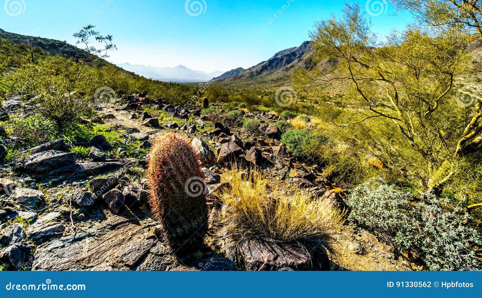 Abandone el paisaje con el Saguaro y los cactus de barril a lo largo de la pista de senderismo de Bajada en las montañas del parq