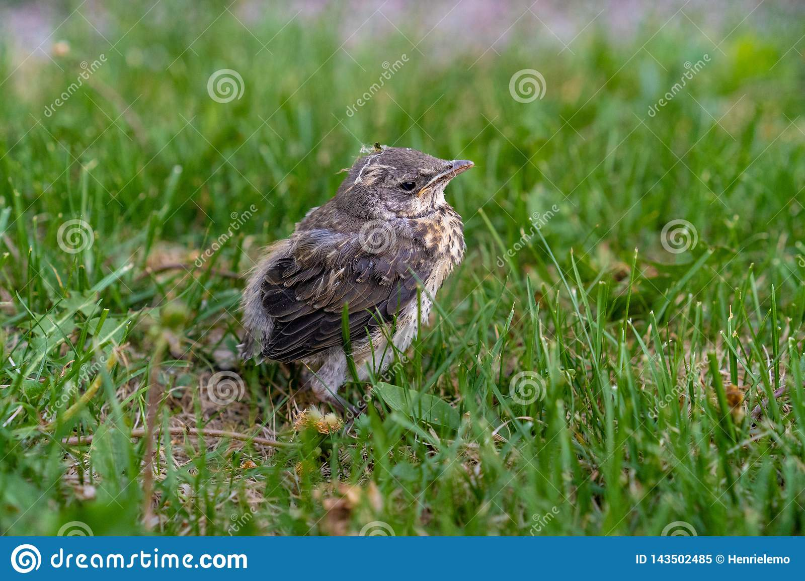 Abandoned bird on green grass looking for mother at Helsinki