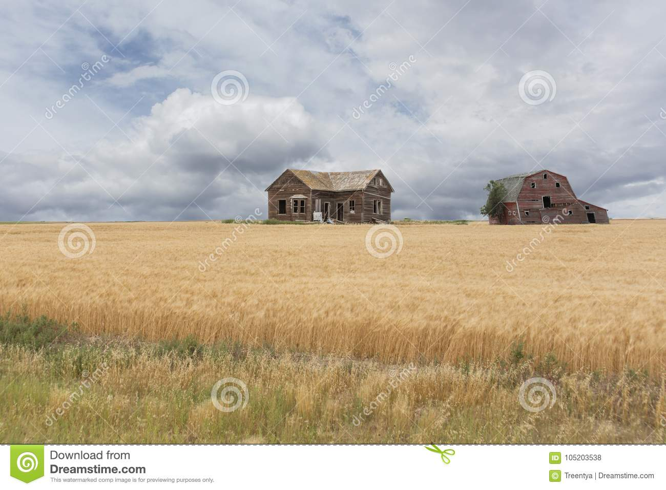Abandoned Farm House And Barn In A Wheat Field Stock Photo