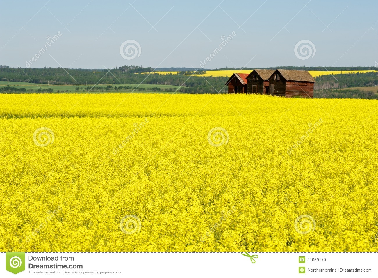 Abandoned granaries in canola field