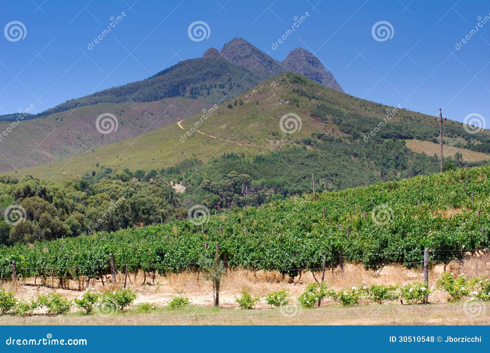 Abbellisca l immagine di una vigna, Stellenbosch, Sudafrica.