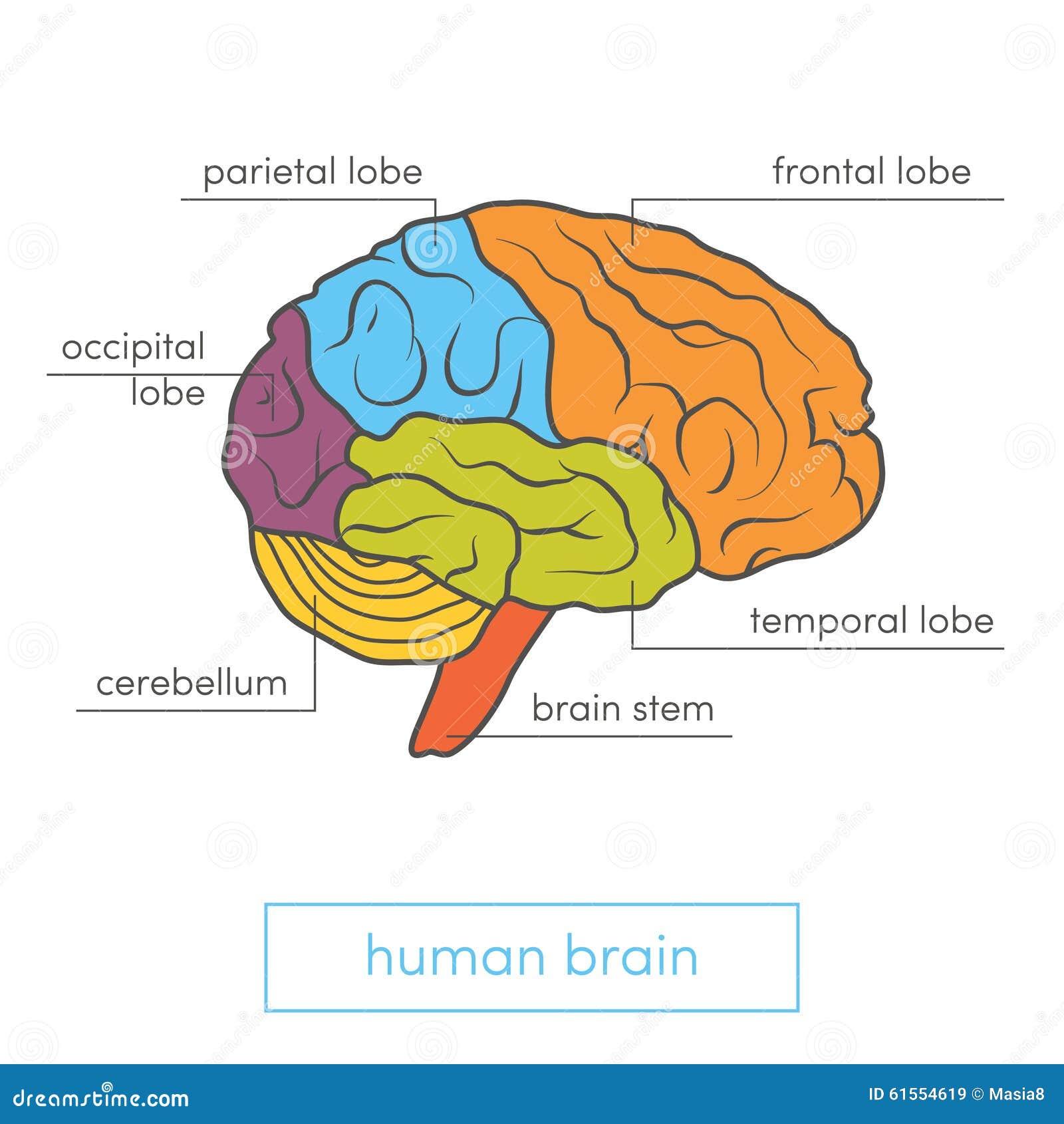 Fantastisch Markiertes Menschliches Gehirn Ideen - Anatomie Ideen ...
