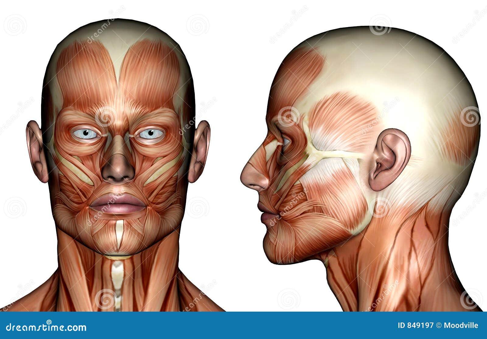 Abbildung - Gesichts-Muskeln Stock Abbildung - Illustration von ...