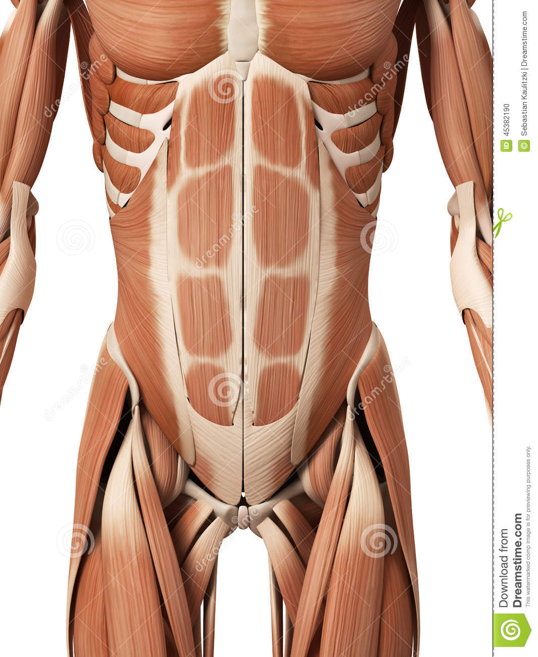 The Abdominal Muscles Stock Illustration Illustration Of Science