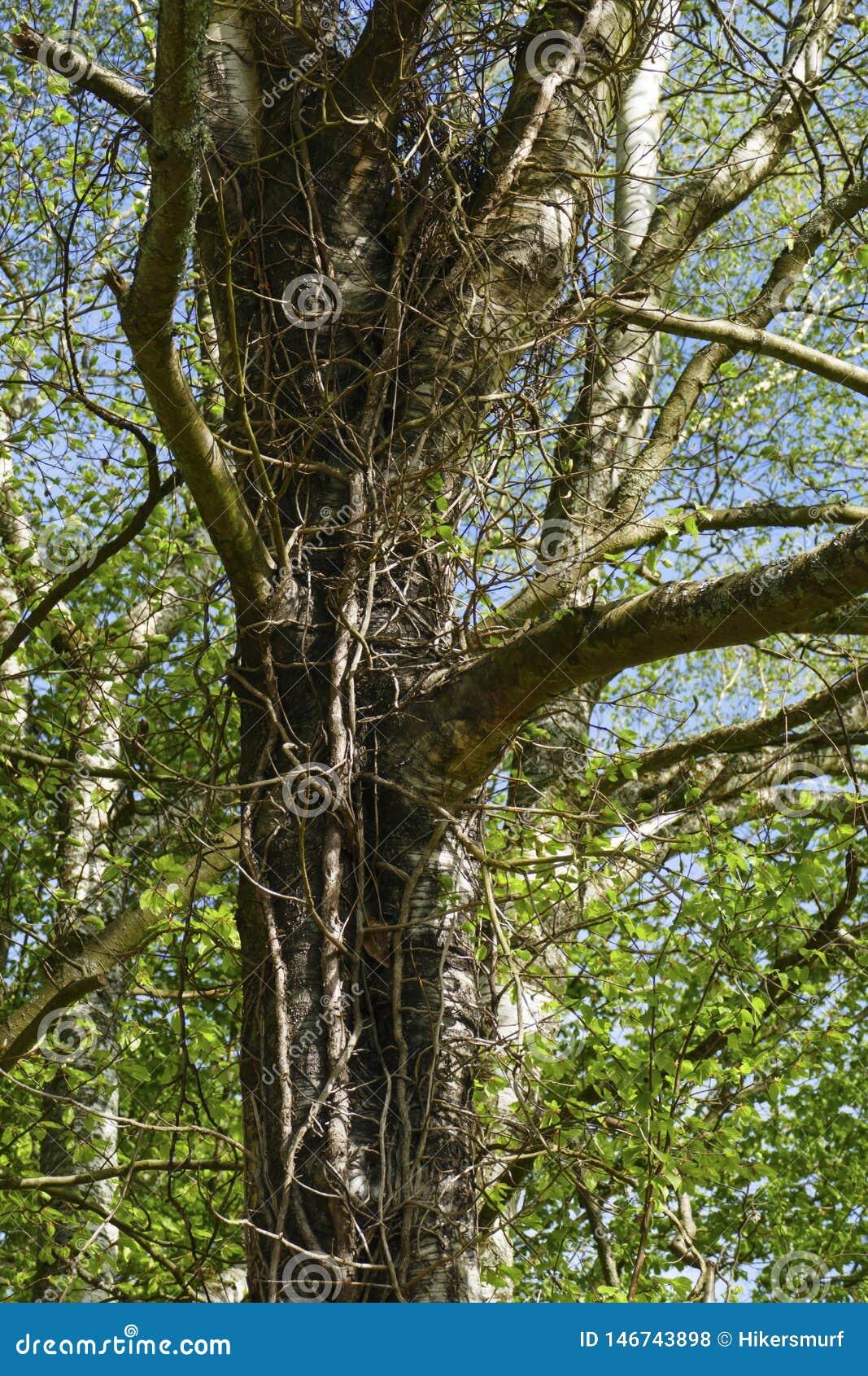 Abedul, árbol viejo, tronco entrelazado por la hiedra y lianas