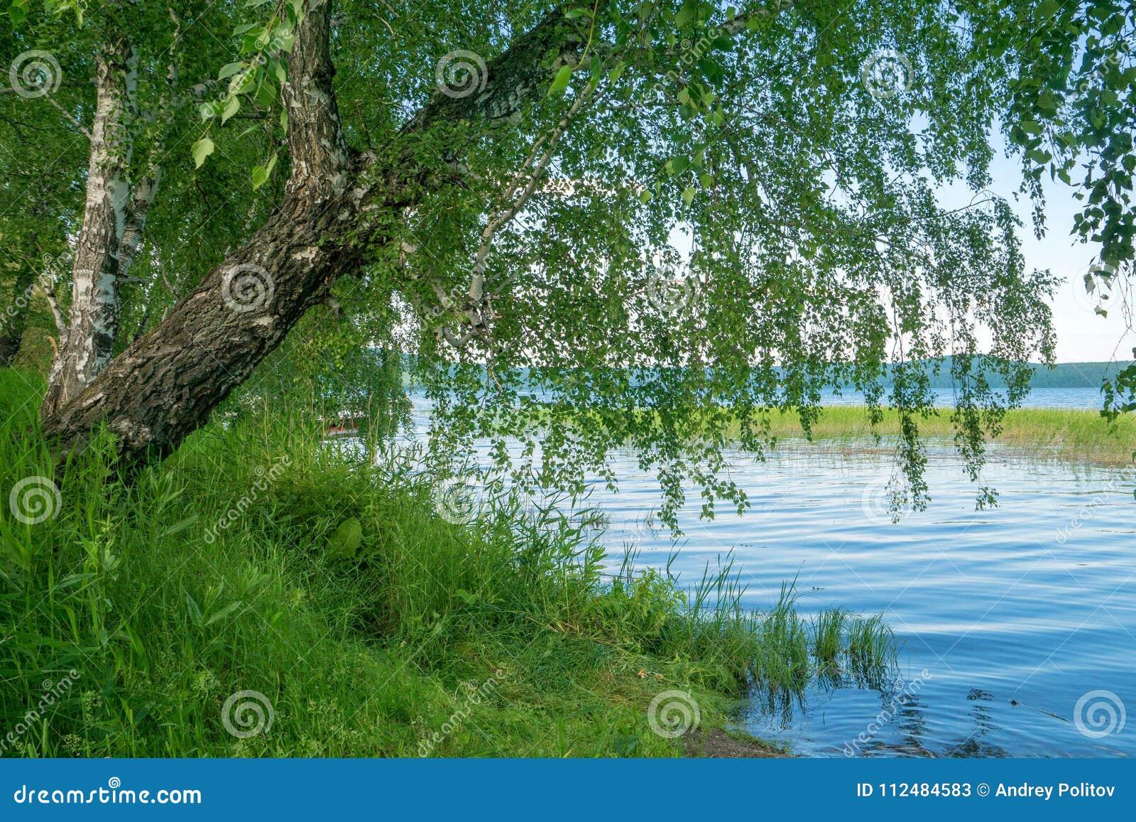 Abedul en orilla del lago