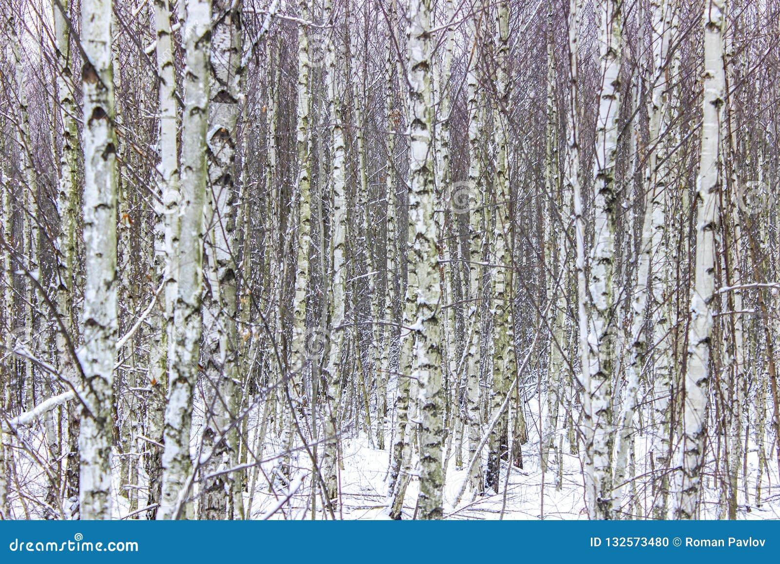 Abedules en el borde del bosque
