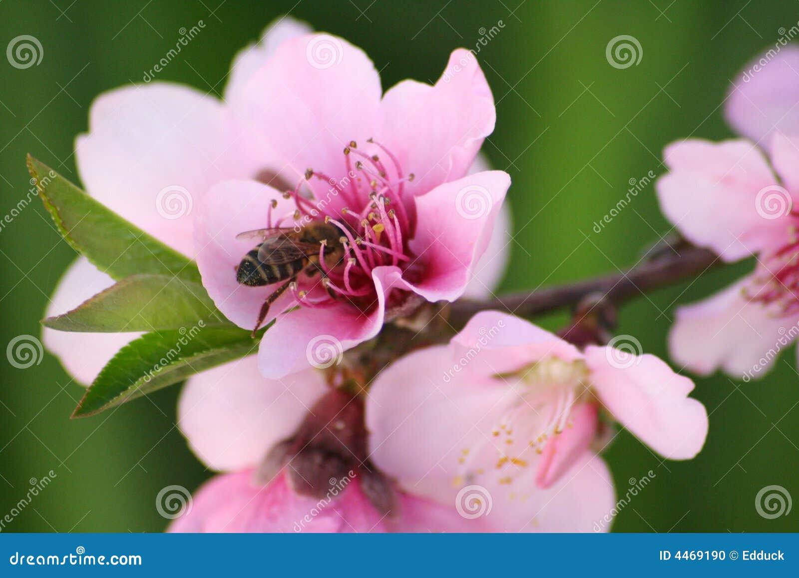 Abeille africaine de miel sur la fleur