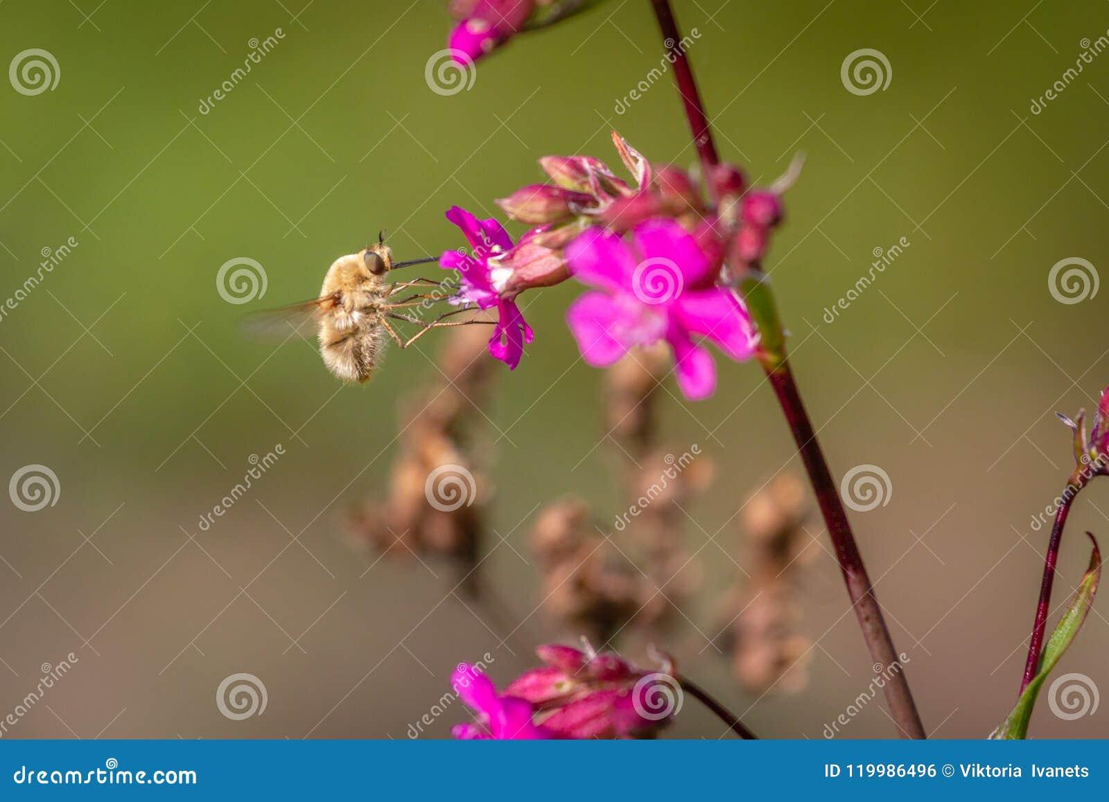 Abeille - commandant de bombylius sur le fond vert Pollinisez la fleur L abeille avec la longue buse vole sur la fleur