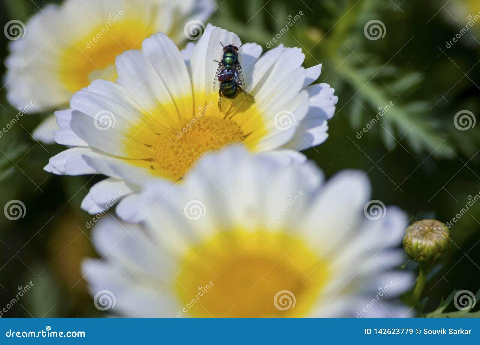 Abeille de miel joignant sur une fleur jaune blanche d isolement dans un jardin à la belle vue et à la profondeur du champ