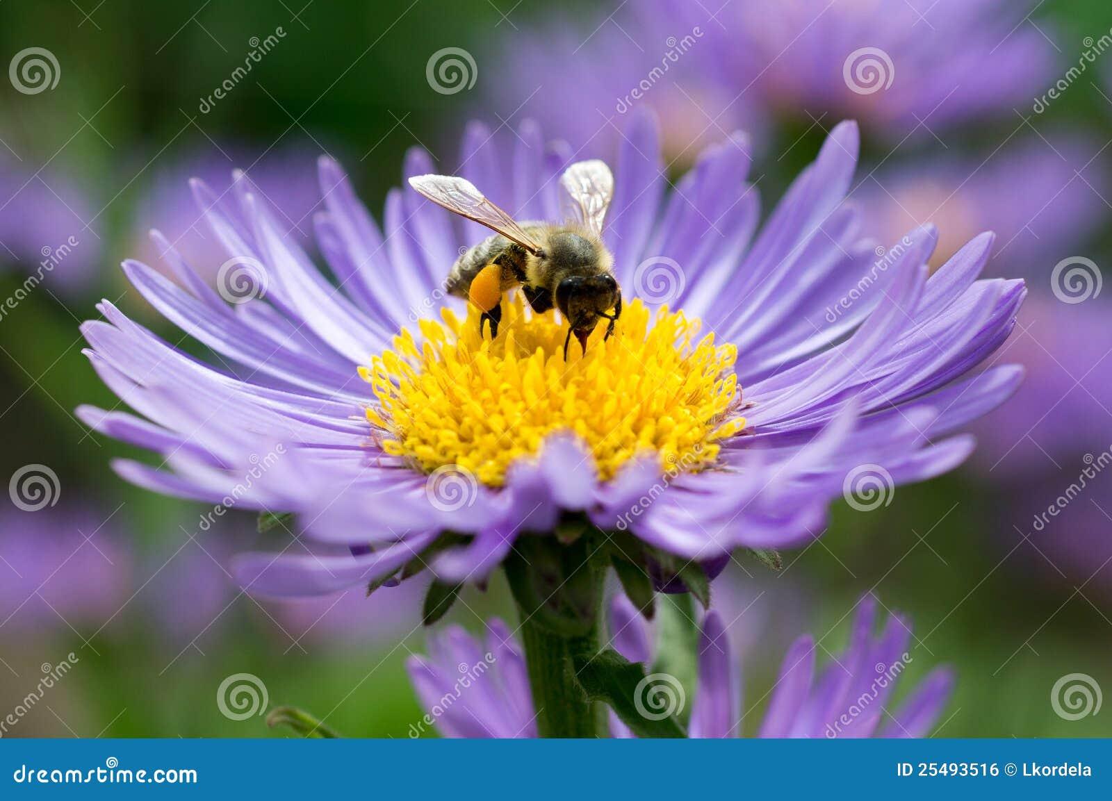 Abeille de miel sur l aster bleu