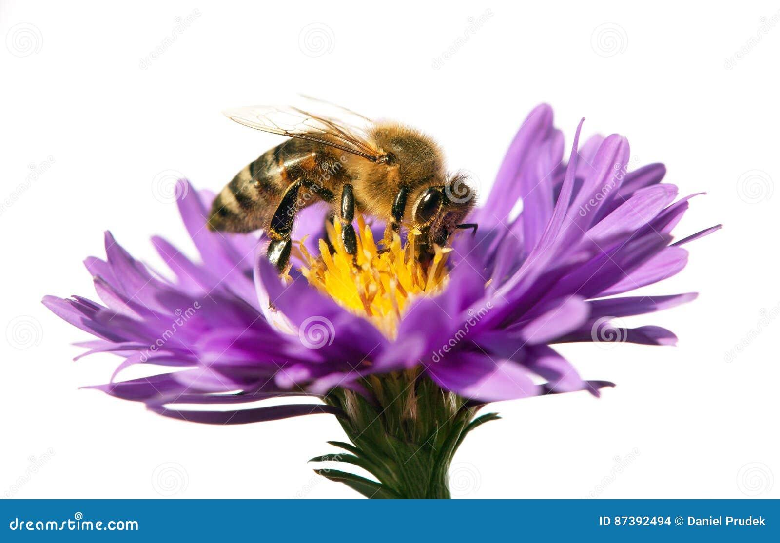 Abeille De Miel Sur La Fleur Violette D Isolement Sur Le Fond Blanc