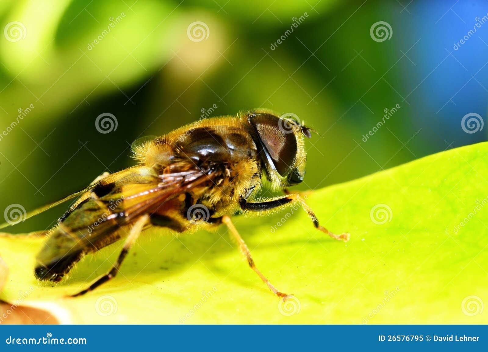 Abeille de miel sur la lame verte