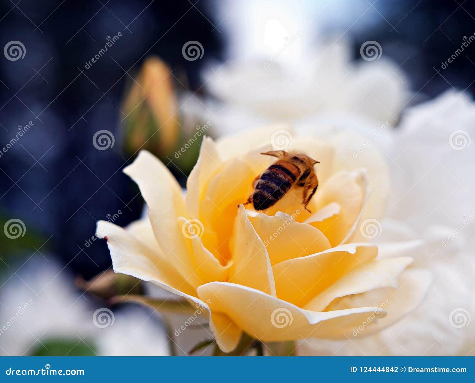 Abeille de miel sur la rose de jaune