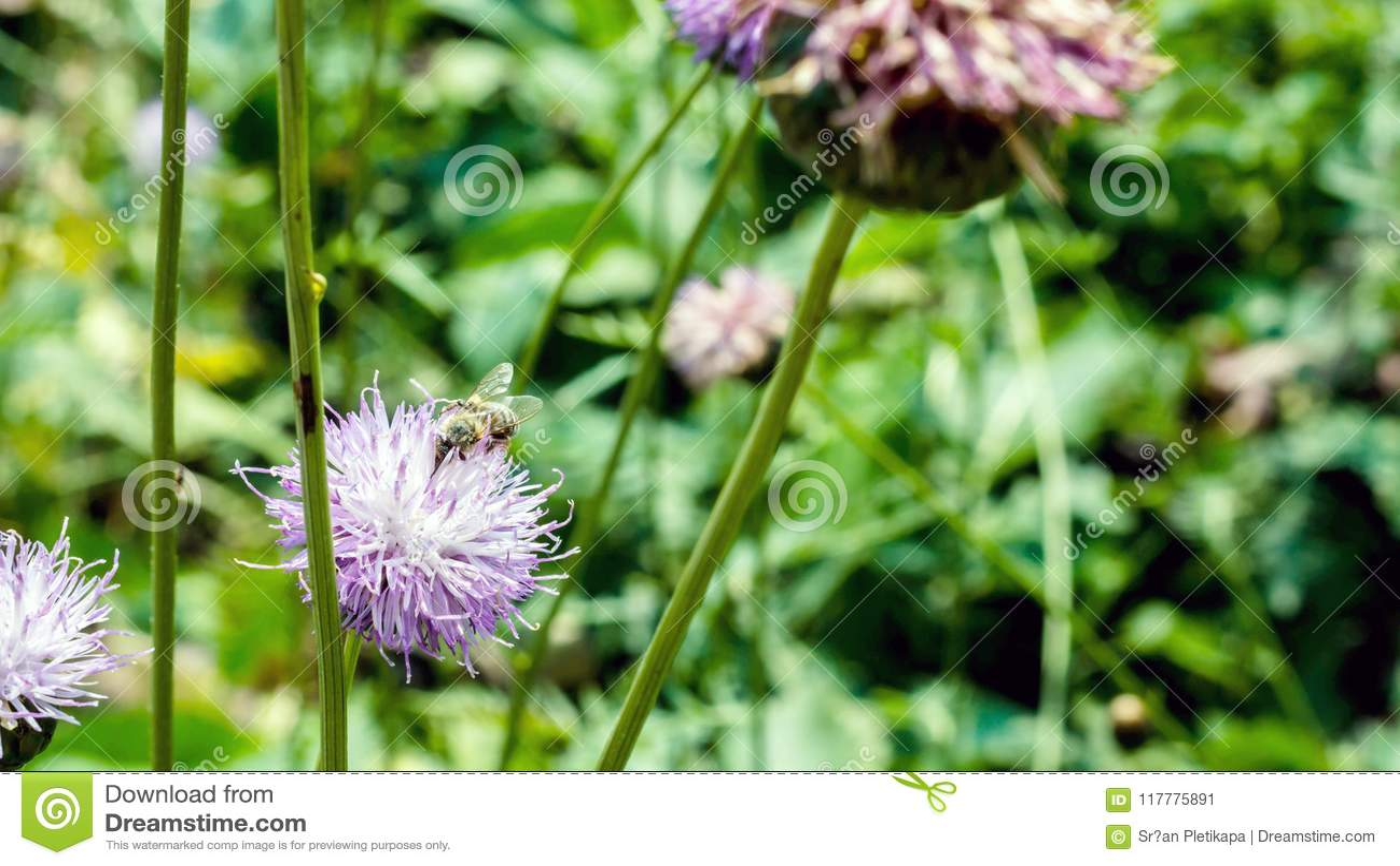 Abeille de miel sur une fin de fleur vers le haut de la photographie