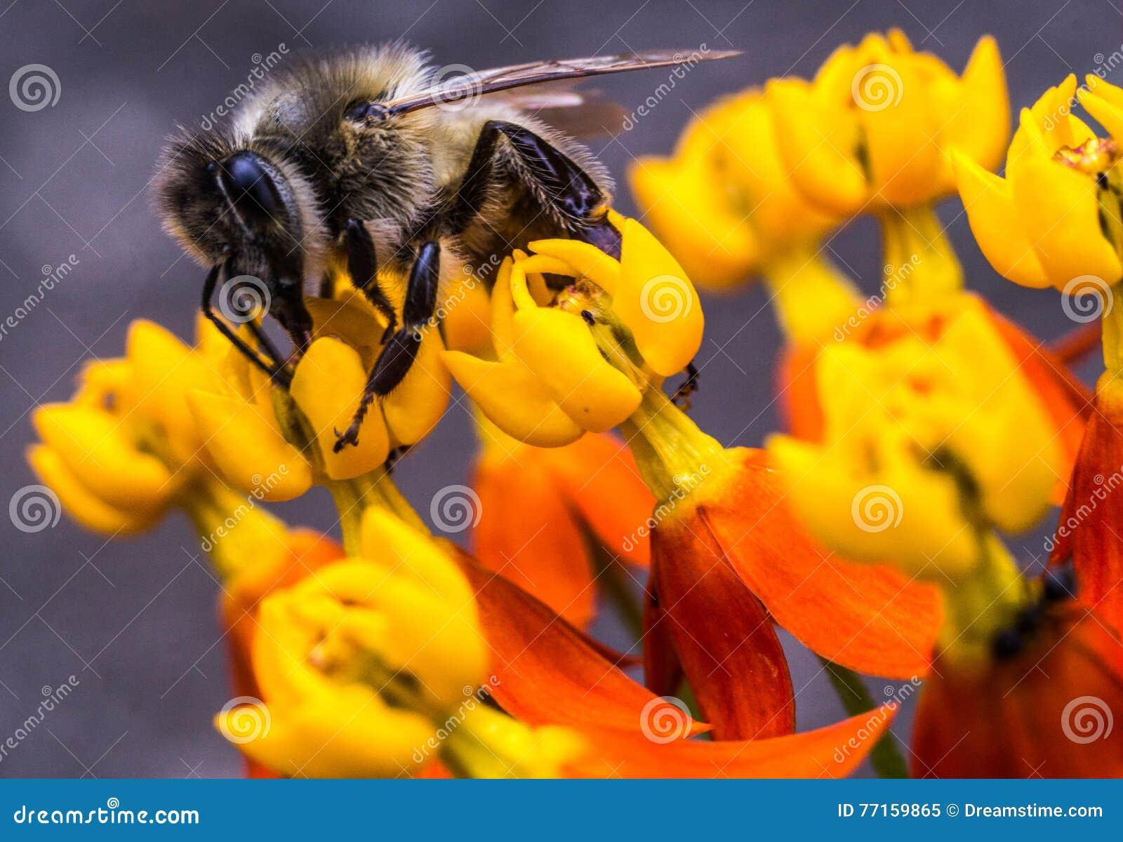 Abeille de miel sur une fleur jaune