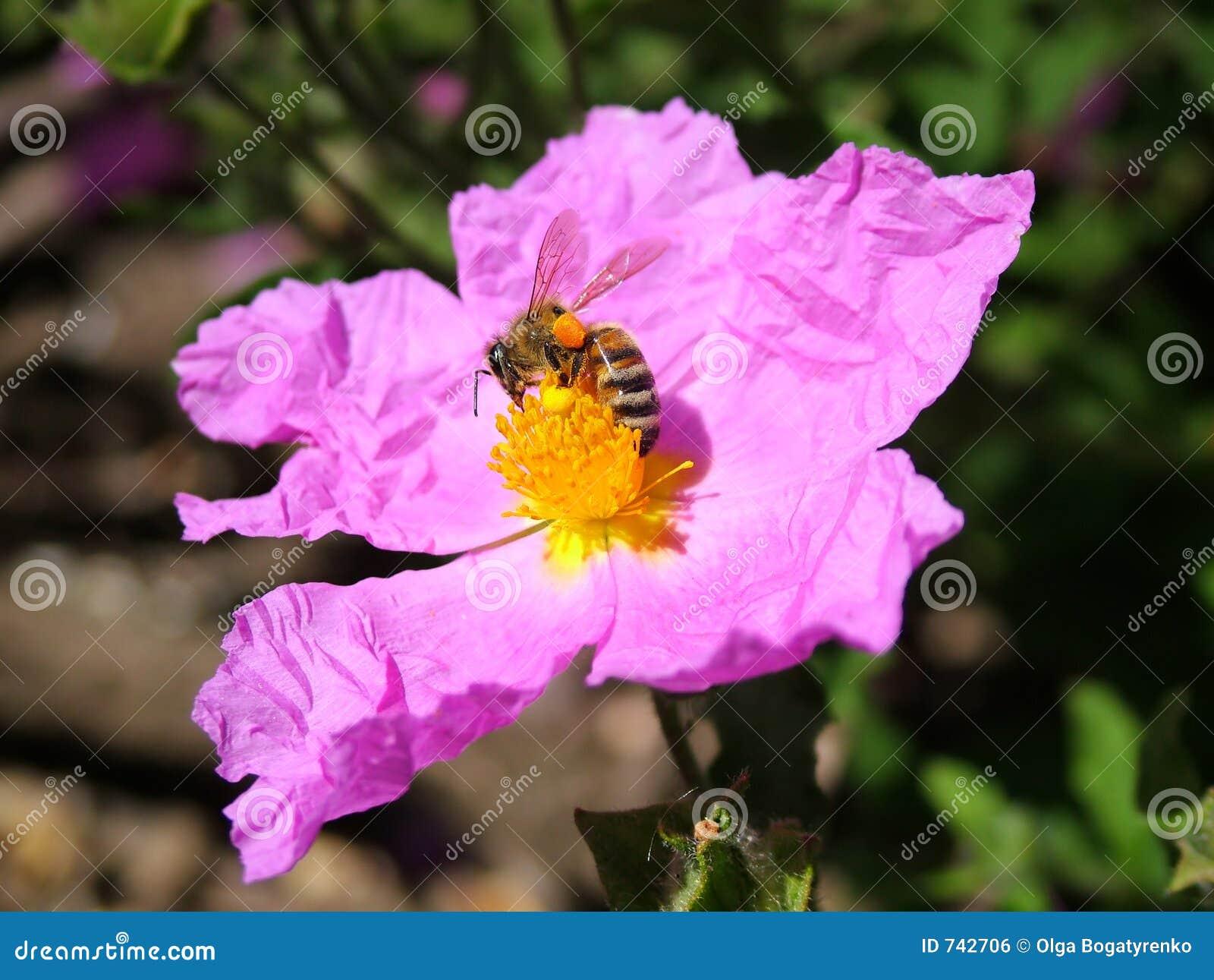 Abeille et fleur de source