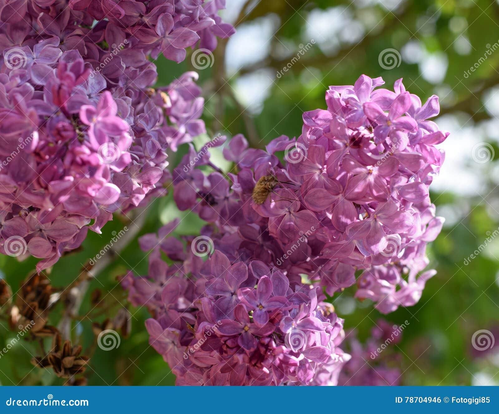 Abeille et guêpe sur le lilas Mouche hirsute sur des couleurs lilas insecte pollinisateur